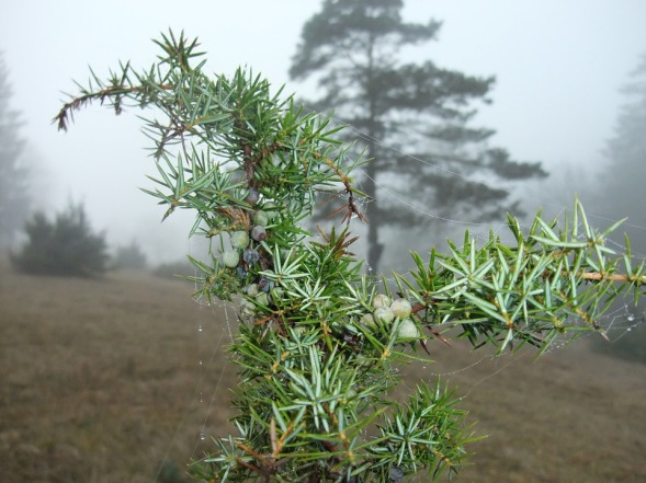 Juniper in the fog, somewhere