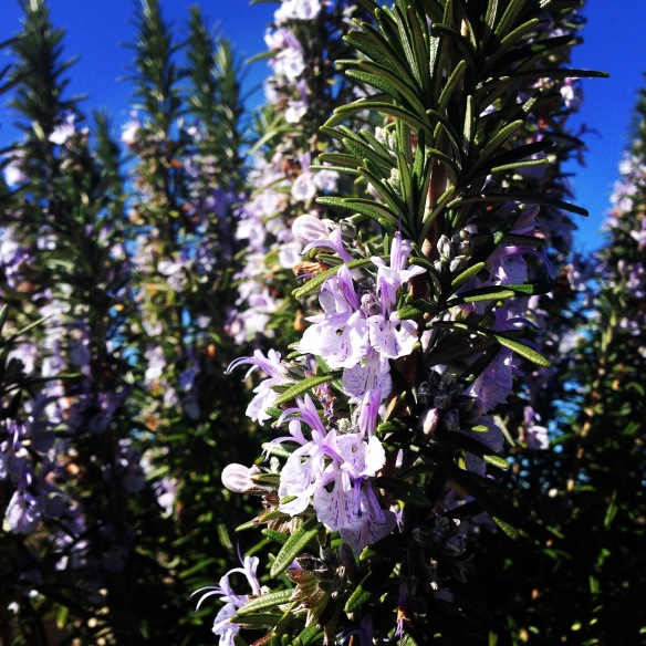 Flowerin rosemary in a client's garden
