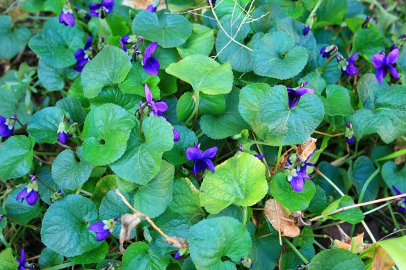 Lovely violet ground cover
