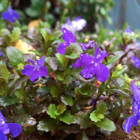 My neighbours violets in the rain
