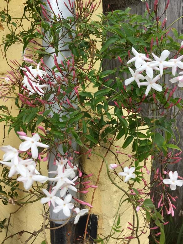 my jasmine