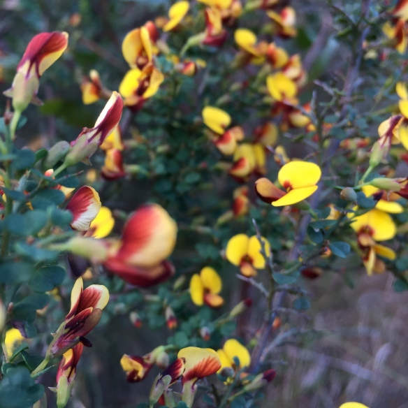 Egg and bacon plant, Pultenaea villosa Willd.