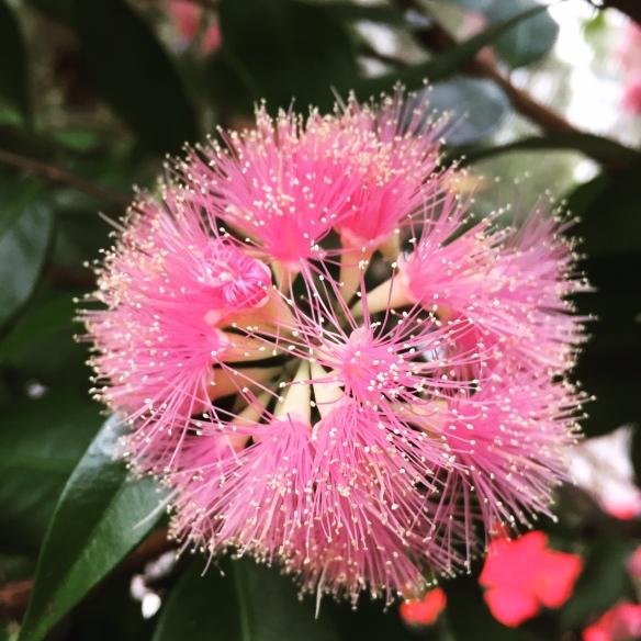 pretty gumnut flowers in Sydney