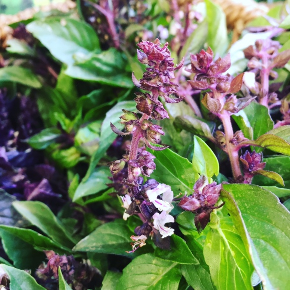 flowering Thai basil