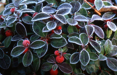Wintergreen with frost - pic via http://tcpermaculture.com/